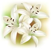 Lilies. A beautiful card with white flowers Royalty Free Stock Photo