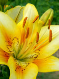 Lilies Royalty Free Stock Images