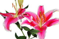 Lilies Stock Photos