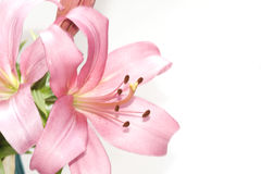 Lilies. Pink lilies on the white Royalty Free Stock Image