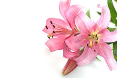 Lilies. Pink lilies on the white royalty free stock photo