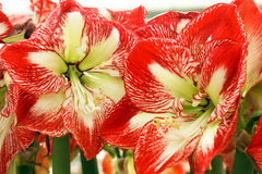 Lilies. Big red lilies in the greenhouse Royalty Free Stock Photos