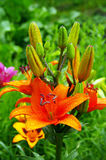 Lilies. Stock Image