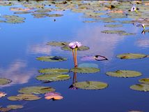 Free Lilies Stock Image - 32267191