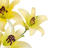 Lilies. Yellow lilies on white background Royalty Free Stock Image