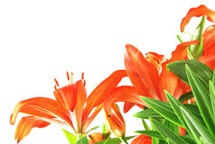 Lilies Royalty Free Stock Photos