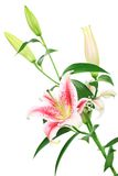 Lilies. Bouquet of beautiful scented lilies Stock Photos
