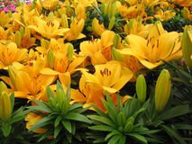 Lilies. Yellow Day Lilies for Sale at Retail royalty free stock image