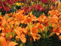 Lilies. Orange Day Lilies for Sale at Retail royalty free stock photography
