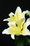 Lilies Royalty Free Stock Image