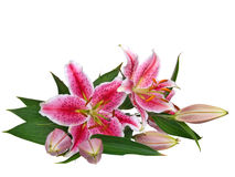 Lilies. Lilie isolated on white background Royalty Free Stock Photo