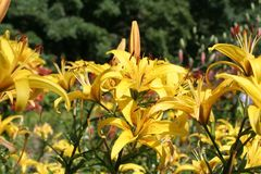 Lilies. In the botanical gardens Stock Photography