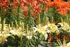 Lilies. In the botanical gardens Stock Images