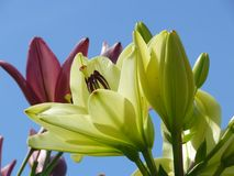 Lilies against the blue sky Stock Images