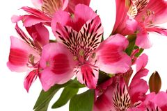 Lilies (alstroemeria) close-up view. Royalty Free Stock Photo