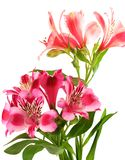 Lilies alstroemeria on white background royalty free stock images