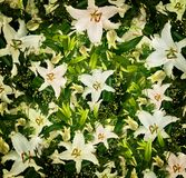 Lilies background Stock Photography