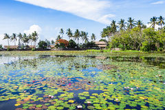 Lilies in Bali Stock Images