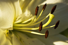 Lilies. Beautiful Flower yellow Lilies closeup Stock Photo