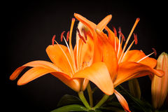 Lilies on a black background Royalty Free Stock Photography