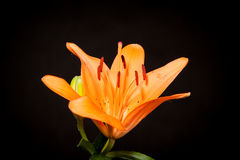 Lilies on a black background Stock Images