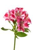 Lilies bud (alstroemeria) Stock Photo