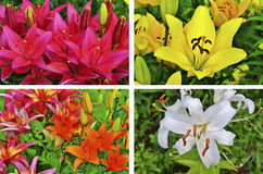 Lilies collage Royalty Free Stock Photos