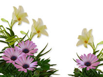 Lilies and Daisies Floral Background. Image composition of Purple or Lavender daisies and white lilies for background, invitation or  template Stock Image