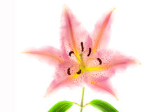 Lilies flower. On white background Royalty Free Stock Photo