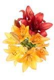 Lilies Stock Photos