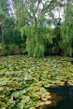 Lilies on a forest lake. Peaceful forest lake with lilies to the north of Auckland, New Zealand royalty free stock image