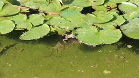 Lilies and Frog. The lilies and Frog was filmed in Bulgaria Yambol stock video