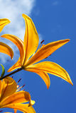 Lilies in the garden. Yellow lily against the background of blue sky Stock Photos