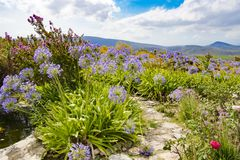 Lilies in garden, blue cape lilies in beautiful landscape, South Africa royalty free stock photo