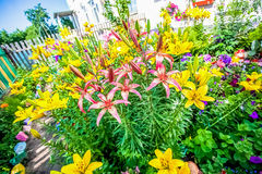 Lilies in the garden of summer Royalty Free Stock Photography