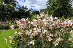 Lilies in a garden. Royalty Free Stock Image