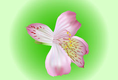 Lilies heads Royalty Free Stock Photography