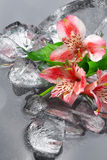 Lilies with ice Royalty Free Stock Photos