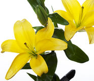 Lilies isolated over white background Stock Photo