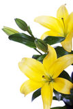 Lilies isolated over white background Royalty Free Stock Images
