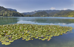 Lilies on Lake Bled in Slovenia Stock Photos