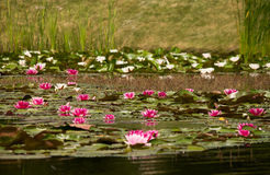 Lilies in the lake Royalty Free Stock Photography