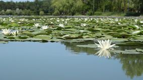 Lilies on the Lake stock footage
