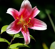 Lilies like bells .. Royalty Free Stock Photo