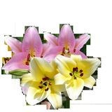 Lilies, Lilies Flowers, Flowers Royalty Free Stock Photo