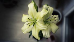 Lilies. Lily flowers. white lilies. Flora. home plants royalty free stock photos