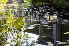 Lilies in the mirrored water. Stock Photo