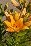 Lilies orange Stock Photography
