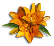 Lilies orange Royalty Free Stock Images