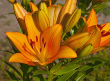 Lilies orange Stock Images
